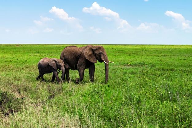 Африканские слоны или loxodonta cyclotis в саванне