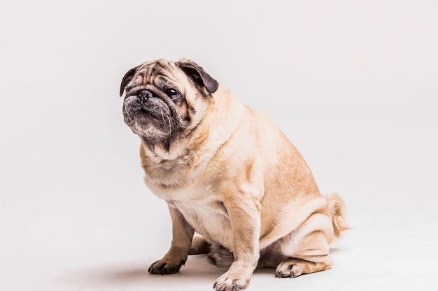 Loyal cute pug dog isolated on white background