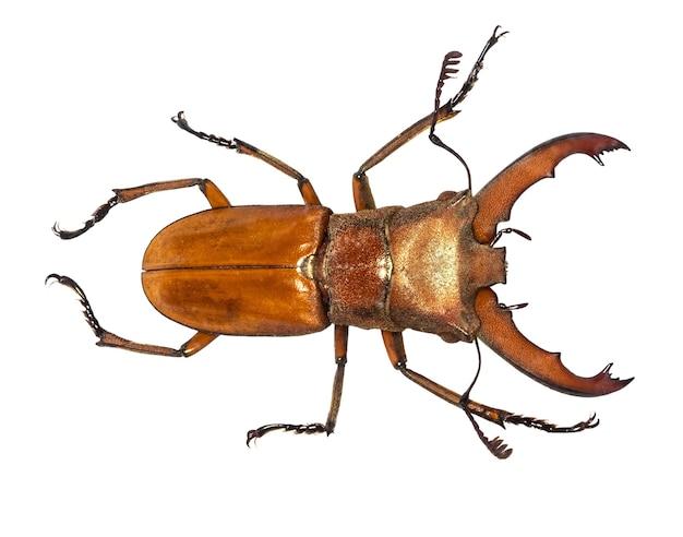 Lucanus cervus 사슴 벌레