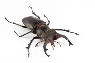 Lucanus formosanus жука ног
