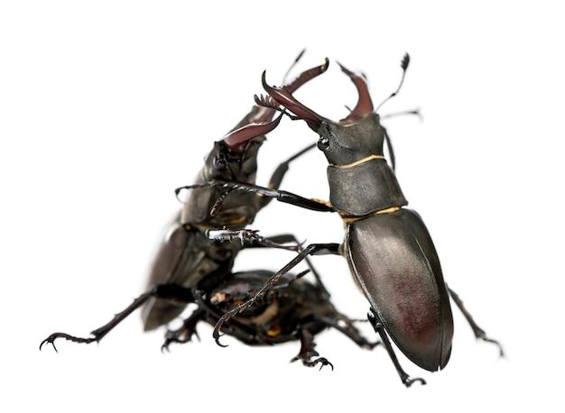 Самец европейского жука-оленя сражается, цервус lucanus изолирован