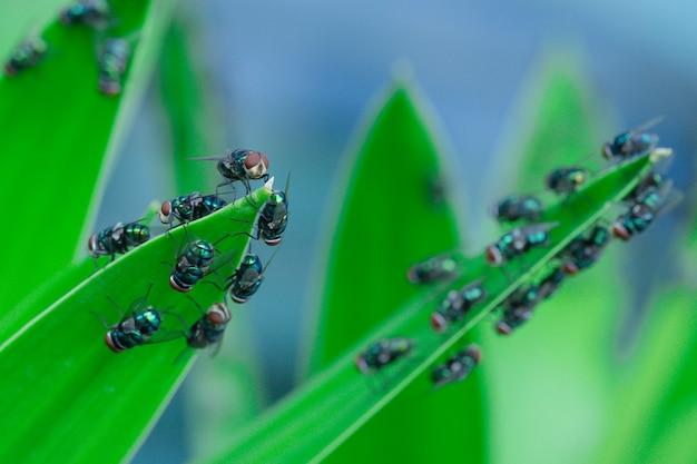 Lucilia sericata 많은 녹색 파리는 calliphoridae 가족에 속하는 한푼도이며, 특히 전 세계에 널리 분포합니다.
