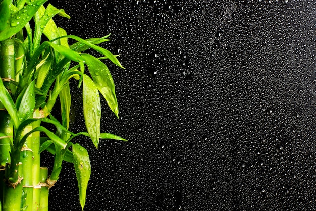 Lucky bamboo branches on a black raindrop background