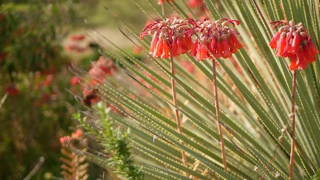 Счастливые колокольчики розовый цветок в саду, калифорния, сша. мать тысяч весеннего цветения, луговая романтическая ботаническая атмосфера, нежная мексиканская шляпа цветения растения каланхоэ. кораллово-лососевый весенний цвет