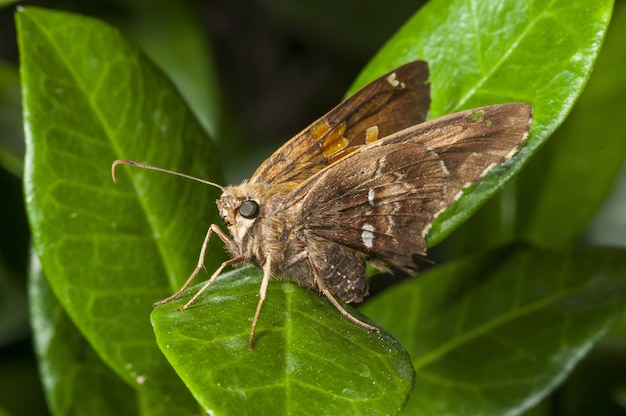 Lulworth skipper sitting on leaves surrounded by greenery