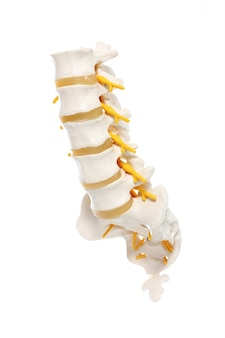 A lumbar part of a spine preparation over white background