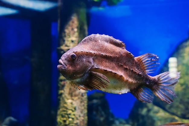 Lumpfish cyclopterus lumpus魚は青い水の下で泳ぐ