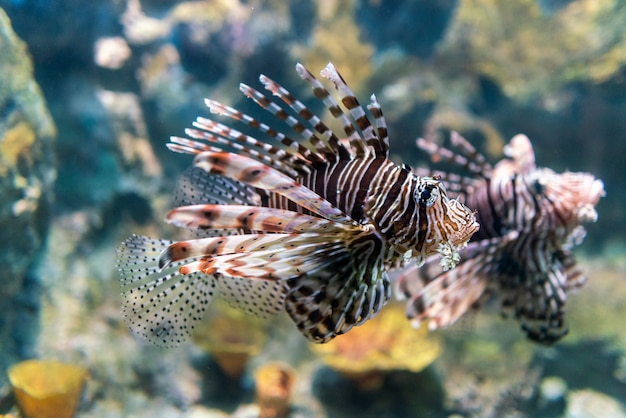 Luna lionfish swimming in the tropical sea.