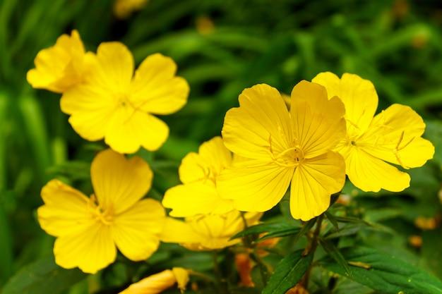 Желтое красивое lunaria annua - ежегодная честность в саде.