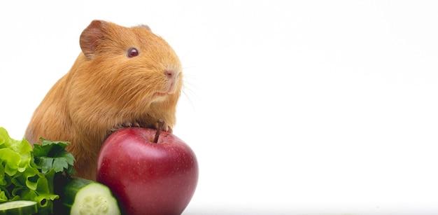 점심 시간. 그녀의 음식과 흰색 배경 배너 기니 돼지 위에 재미있는 기니 돼지 초상화