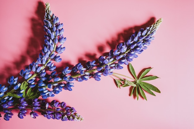 Lupine flowers in blue lilac color in full bloom on a pink background flat lay