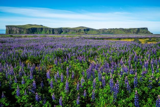 Lupine flowers field in vik iceland.