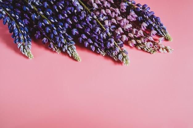 Цветки люпина синего сиреневого цвета в полном цвету на розовом фоне. место для текста