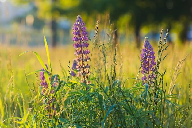 일몰 빛에 잔디 배경 질감에 루팡 꽃