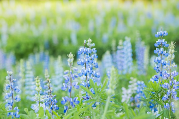 Lupine flowers meadow