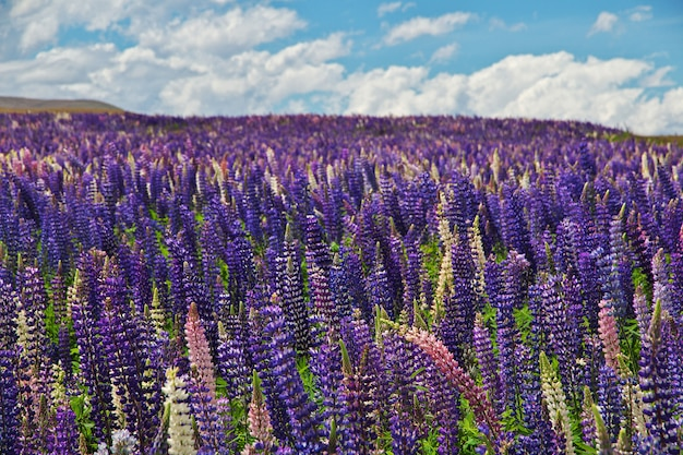 Lupine flowers in new zealand