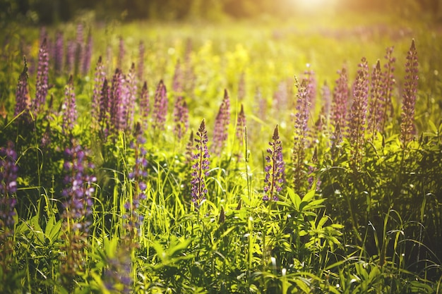 Lupines flowers