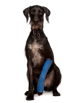 Lurcher, 3 years old, with arm cast sitting
