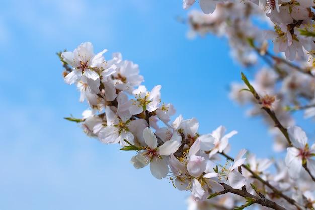 Пышное цветение фруктовых деревьев весенним днем на фоне голубого неба
