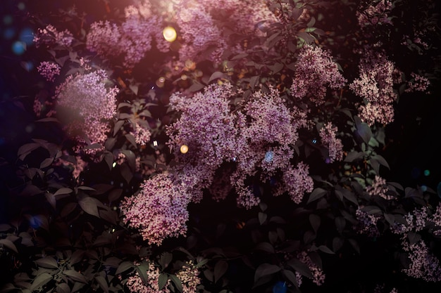 무성한 라일락 덤불. 화창한 날 봄 꽃, 음소거 꽃 식물 배경
