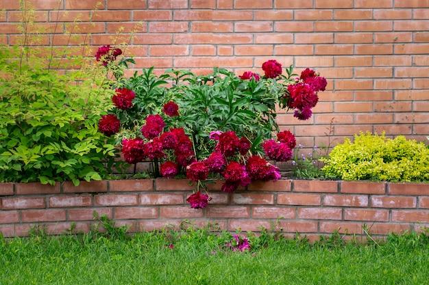 벽돌 벽에 화단에 무성한 꽃이 만발한 모란 조경 다년생 꽃
