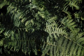 Пышные зеленые листья папоротника