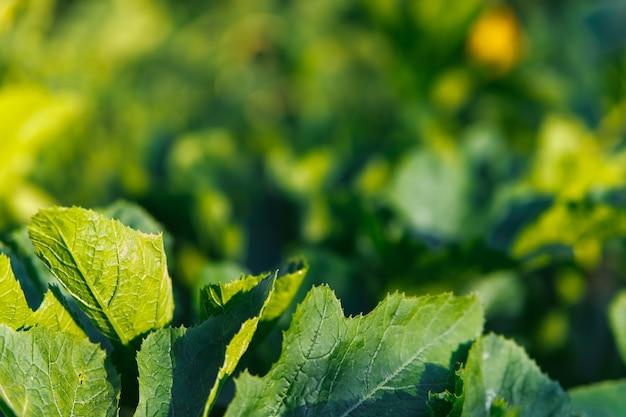 明るい太陽の下で緑豊かな葉。カボチャまたはズッキーニの葉。自然な背景と質感。