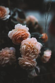 무성한 파스텔 베이지색 꽃 봉오리와 자연에서 자라는 정원 장미 꽃잎 천연 유기농 배경