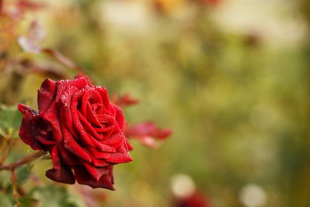 庭を背景に青々とした赤いバラ。