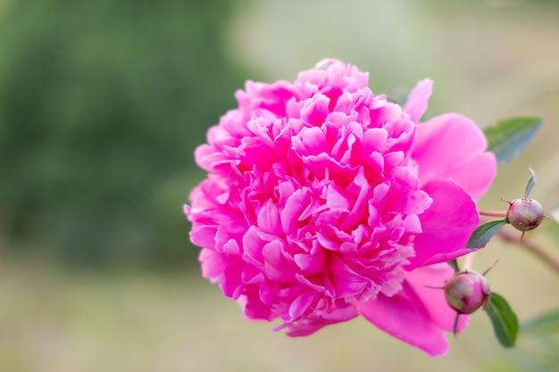 緑の花壇のぼやけた壁の緑豊かなバラ色の牡丹。白翔の中国牡丹園の牡丹は美しい花でいっぱいです。コピースペース
