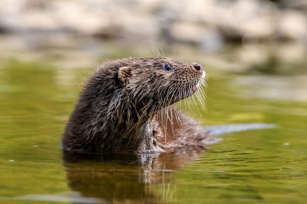 自然の生息地のルトラ。水の捕食者の肖像画。川からの動物。野生動物のシーン