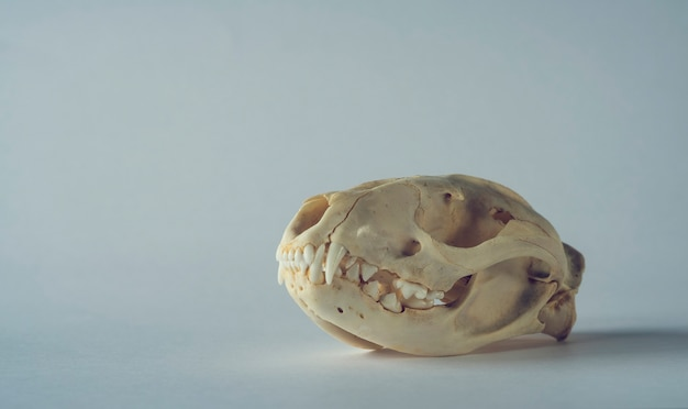 Luwak musang marten skull on clean background