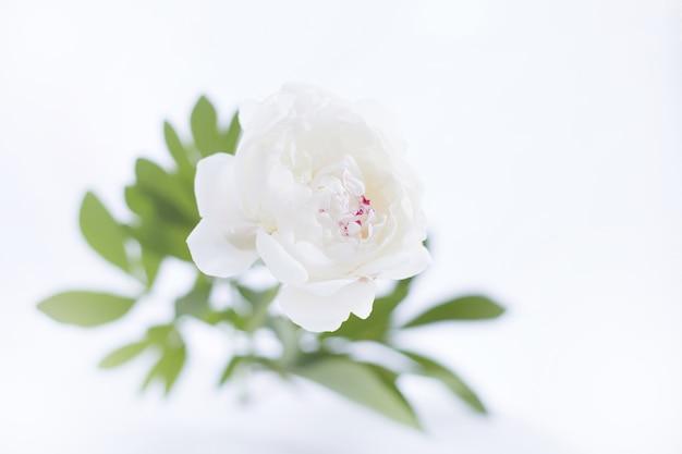 Роскошный белый пион.