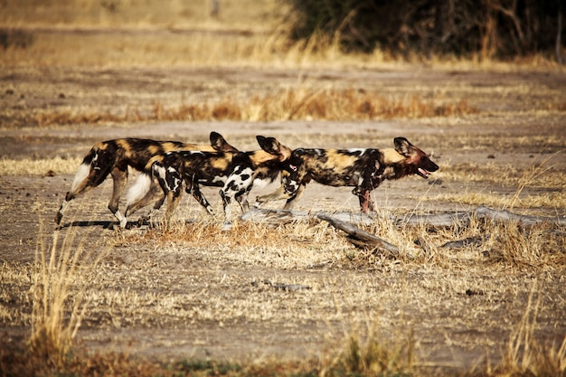 Lycaon pictus african wild dogs in group