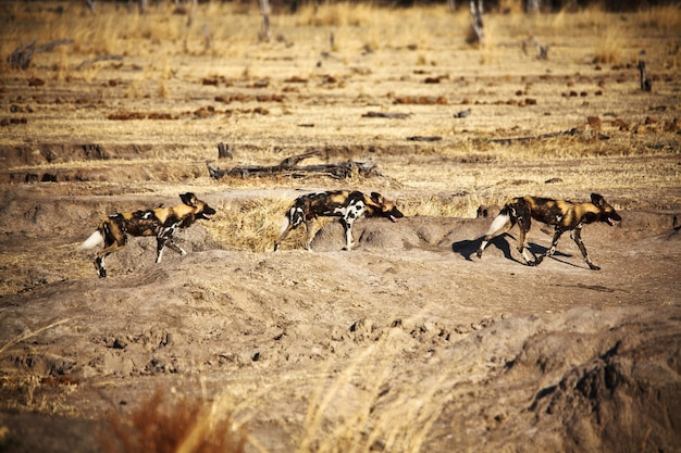 Lycaon pictus african wild dogs