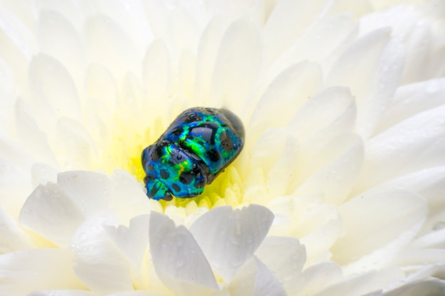 Lychee shield bug, spotted cucumber beetles