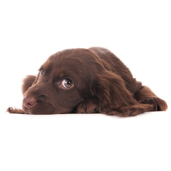 Лежащий щенок кокер-спаниеля