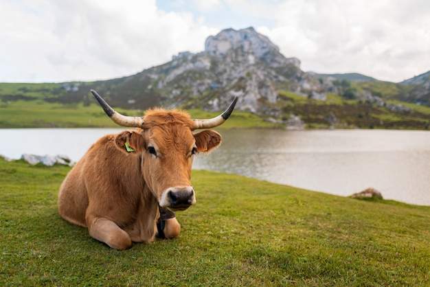 Lying cow resting on a green meadow with lake and mountain