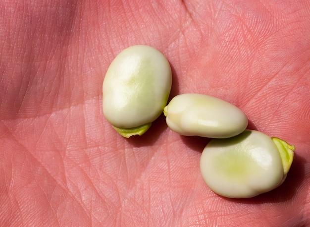 녹색 부드러운 익은 콩 열매의 손에 누워, 농업