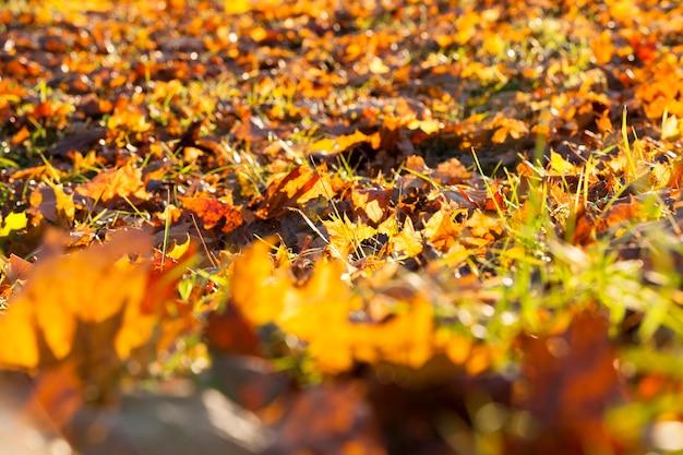 Лежит на земле кленовая листва опавшие за осенний сезон. фотография сделана крупным планом. малая глубина резкости. солнечная погода и листва, видимые солнечные лучи