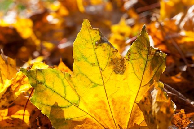 Лежащие на земле желтые кленовые листья в осенний сезон. расположение в парке. малая глубина резкости. подсветка солнца