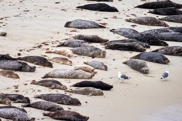 Lying seals on a sandy coast of california