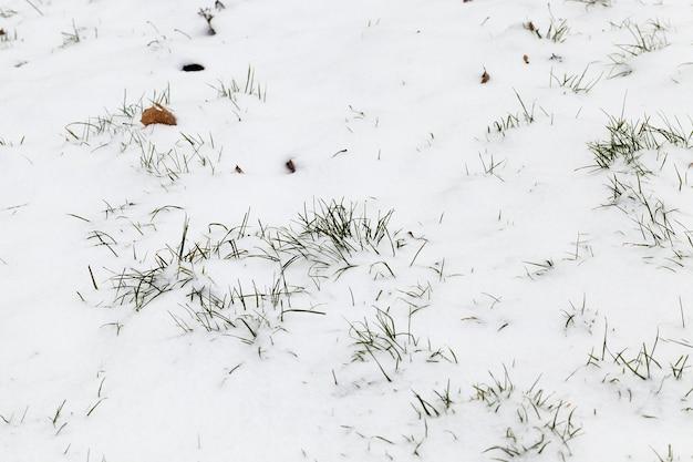 最後の降雪の後に横たわっている雪、雪の白い背景の背景に乾いた草の冬の季節に撮影した写真