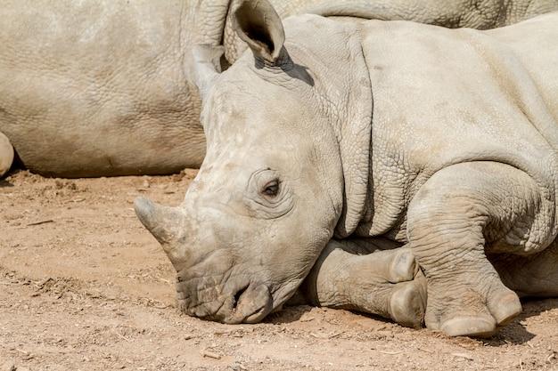 An lying young rhino