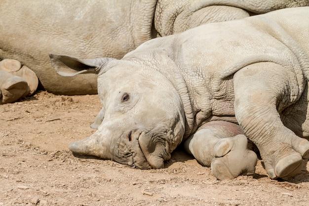 A lying young rhino