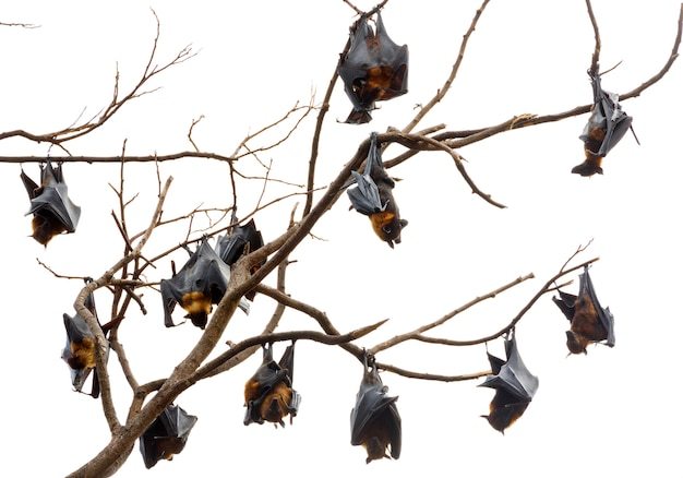 Lyle's flying fox  is  hanging on the tree.