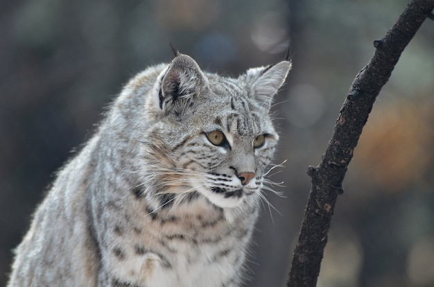 Lynx cat with pointed ears on the prowl.