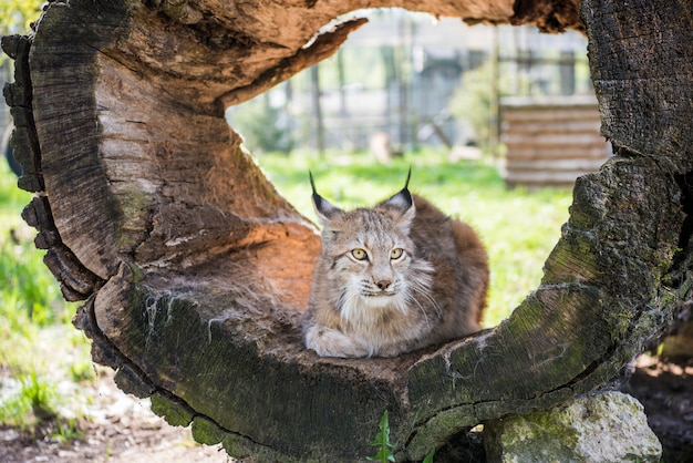 Lynx in green forest with tree trunk.