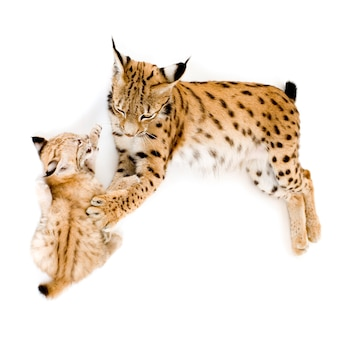 Lynx and her cub in front on a white wall