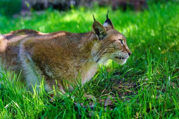 Рысь прячется в траве, преследуя свою добычу.